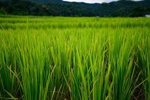 Rice fields, Thailand