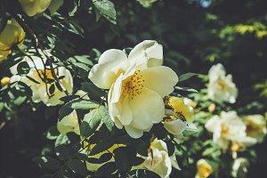 iseeyouphoto-shrub rose