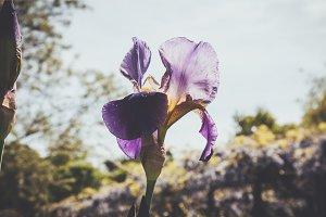 iseeyouphoto-purple iris
