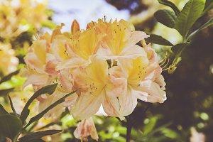 iseeyouphoto-yellow rhododendron 1