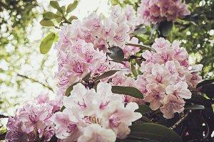 iseeyouphoto-pink rhododendron 1