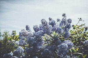 iseeyouphoto-blue ceanothus 1