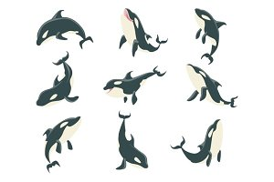 Arctic Orca Whale Different Body Positions Set Of Illustrations.