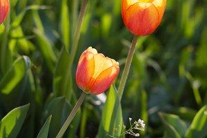 Beautiful orange tulips