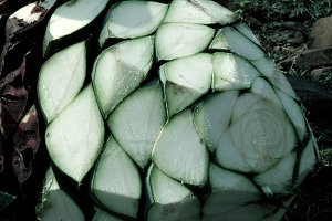Detail of heads of blue agave