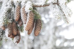 Christmas or winter background, Frost covered fir tree with cones