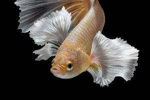 Betta fish,Siamese fighting fish
