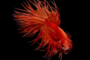 Crowntail,Betta Fish