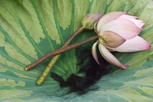 Lotus and hair on the lotus