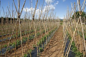 Tomato field with canes