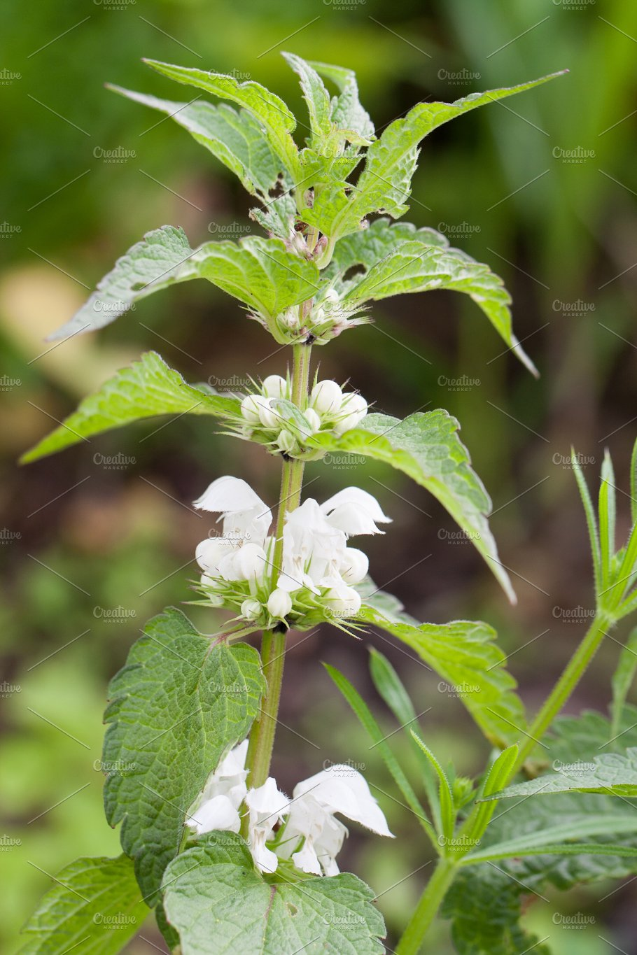 Blooming nettle bush with white flowers nature photos creative blooming nettle bush with white flowers nature mightylinksfo