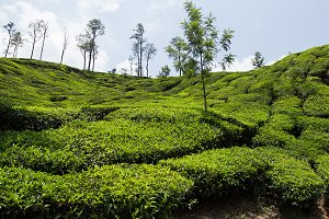 Tea plantation in India, sunny (6)