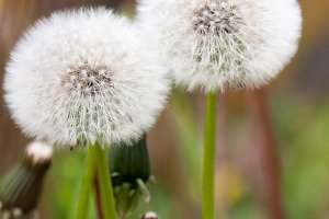 two Dandelion seeds outside close up macro