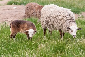 Sheep and lamb grazing on green grass