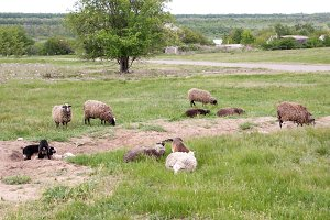 A flock of sheep grazing in a meadow