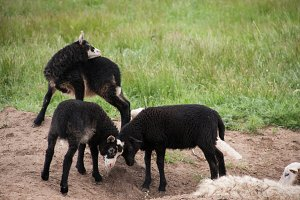 Young black lambs fighting in the pasture