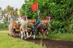 Water buffalo races in Bali island