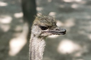 Portrait of young ostrich