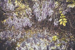 iseeyouphoto-wisteria 3