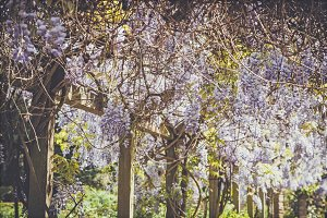 iseeyouphoto-wisteria 2