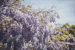 iseeyouphoto-wisteria 1