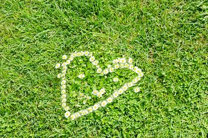 Camomile heart in green background