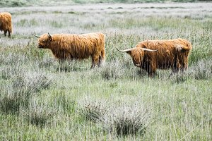 scottish Cattle on meadow