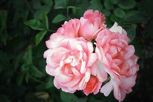 pink spring flowers roses