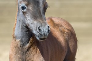 American miniature foal