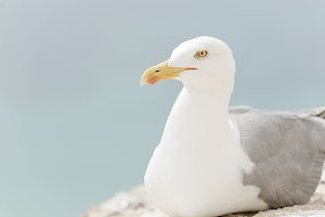 Close-ups of a Seagull