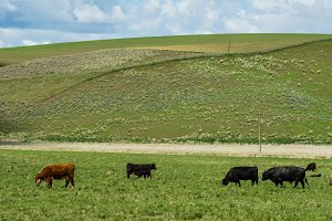 Cattle grazing on a ranch