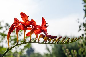 Red Crocosmia flower