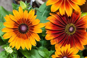 Orange and red daisy