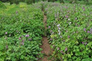 Field Purple Flowers