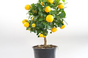 Mandarin tree in a pot