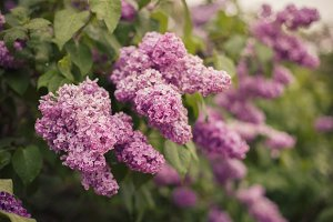 Lilac that blooms