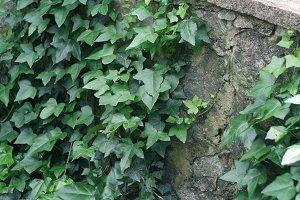 Ivy on Stones