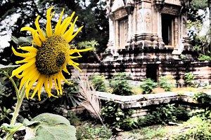 Sunflower in Cambodia