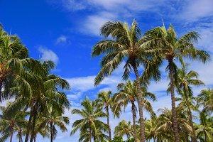 Palm Trees with Blue Sky, Hawaii