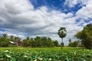 Lotus Field in Cambodia