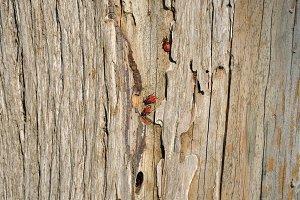 Firebug Wood