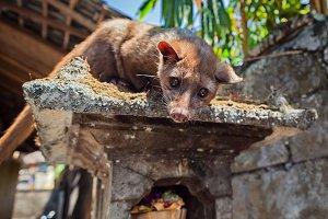 Balinese Luwak