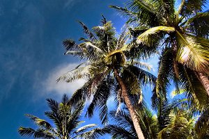 Cambodian Palm Trees