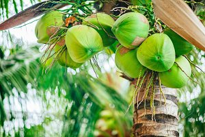 green coconut on palm tree