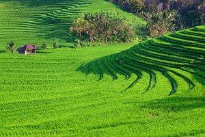 Terraced green rice fields in jungle
