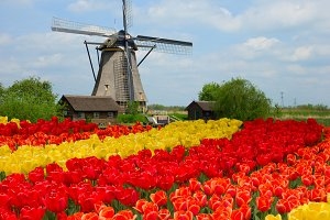 dutch windmill over  tulips, Holland