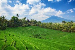 Terraced green rice fields