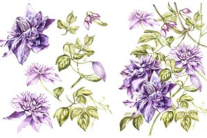 Clematis in botanical style