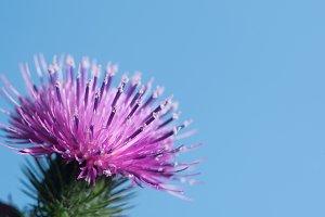 Thistle flower over blue