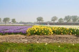 field of hyacinth and daffodils
